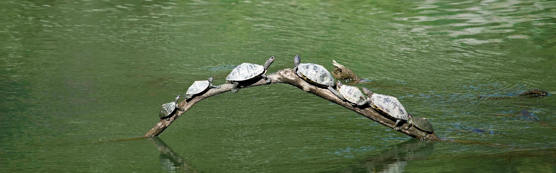 Baruah turtles