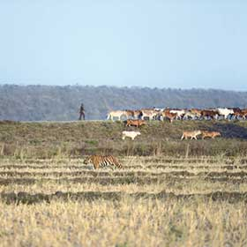 Nikhil Tambekar Tiger and cattle Tadoba