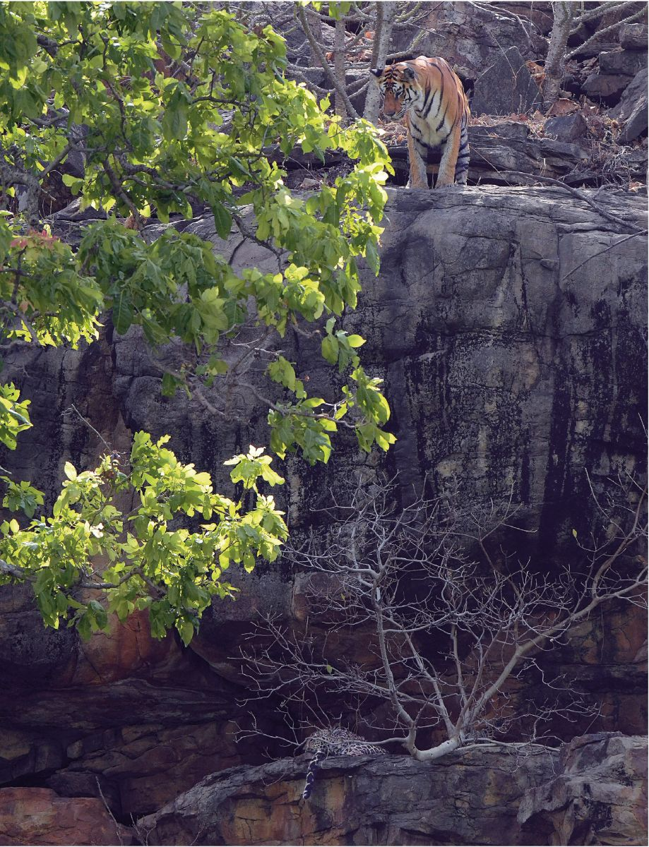 A tiger peers over the rocky cliffs of s of Panna at a leopard lounging in the shade. Though the successful reintroduction of tigers in the region is a laudable feat, it is premature to celebrate a countrywide population increase, considering the numbers are only a few hundred more than 50 years ago.