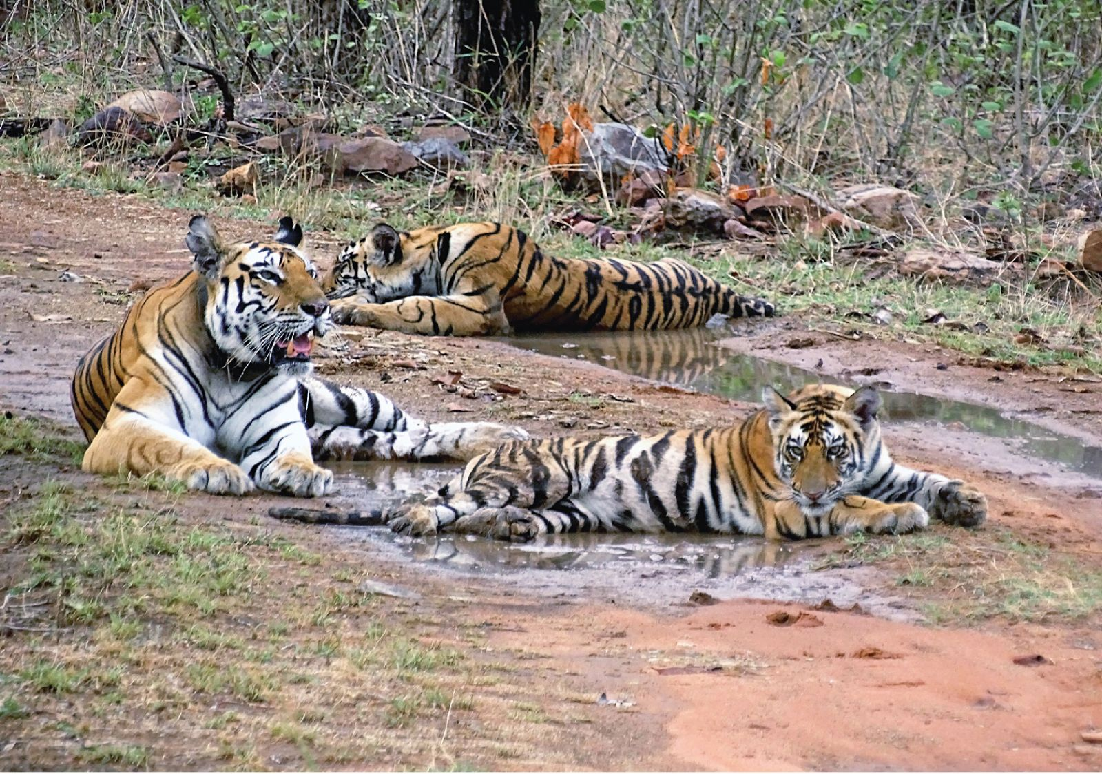 There is an urgent need to extend tiger conservation beyond the boundaries of Protected Areas, mapped at the beginning of Project Tiger. Protecting tiger corridors to enable dispersal and interbreeding for a viable gene pool diversity is vital to the survival of tigers in India.