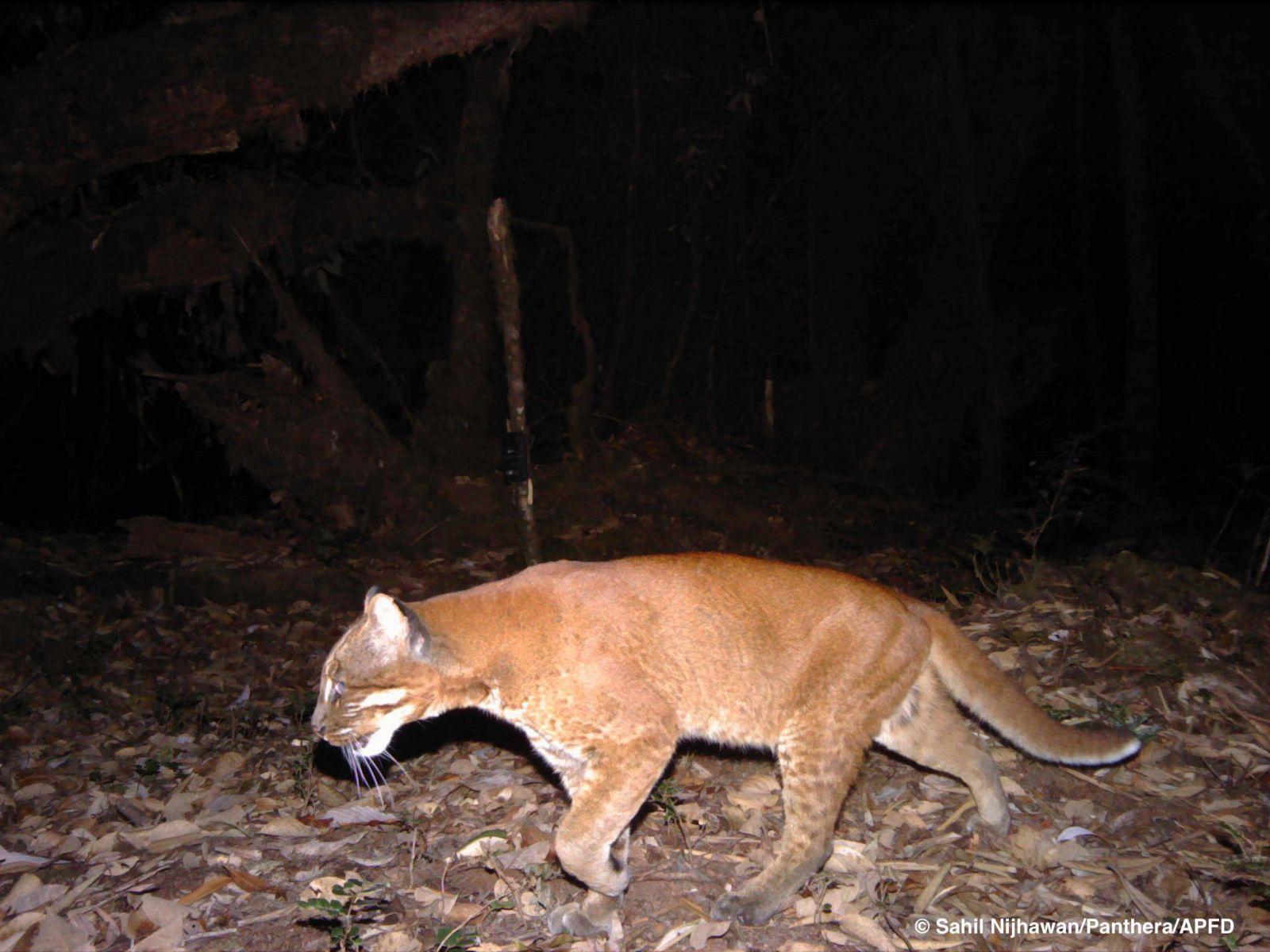 Goledn cat Dibang valley Arunachal Pradesh