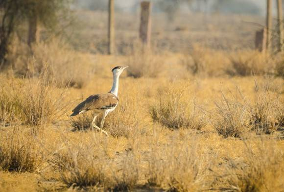Breed Or Bust? Can Captive Breeding Save The Great Indian Bustard?