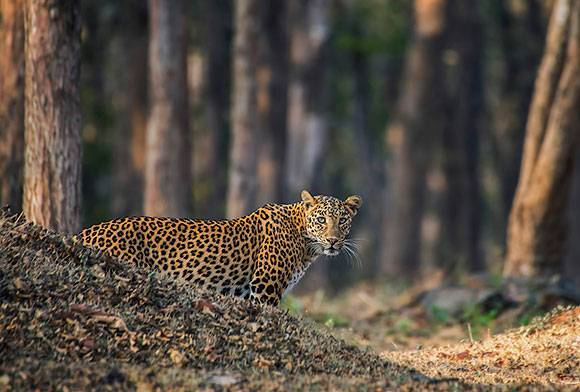 Grow Fast And Die Young - The Accelerated Life Of A Jawai Leopard