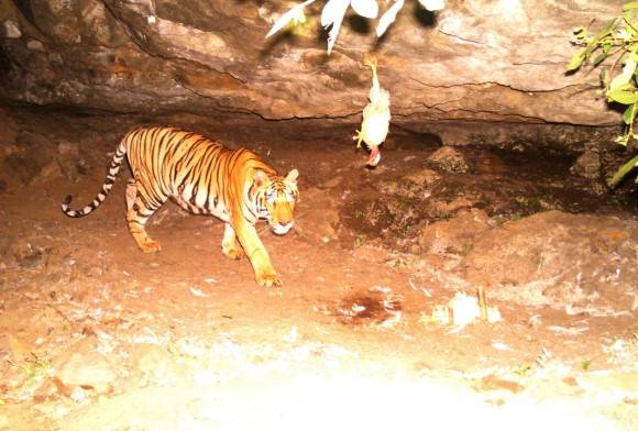 Training an Orphaned Wild Tiger