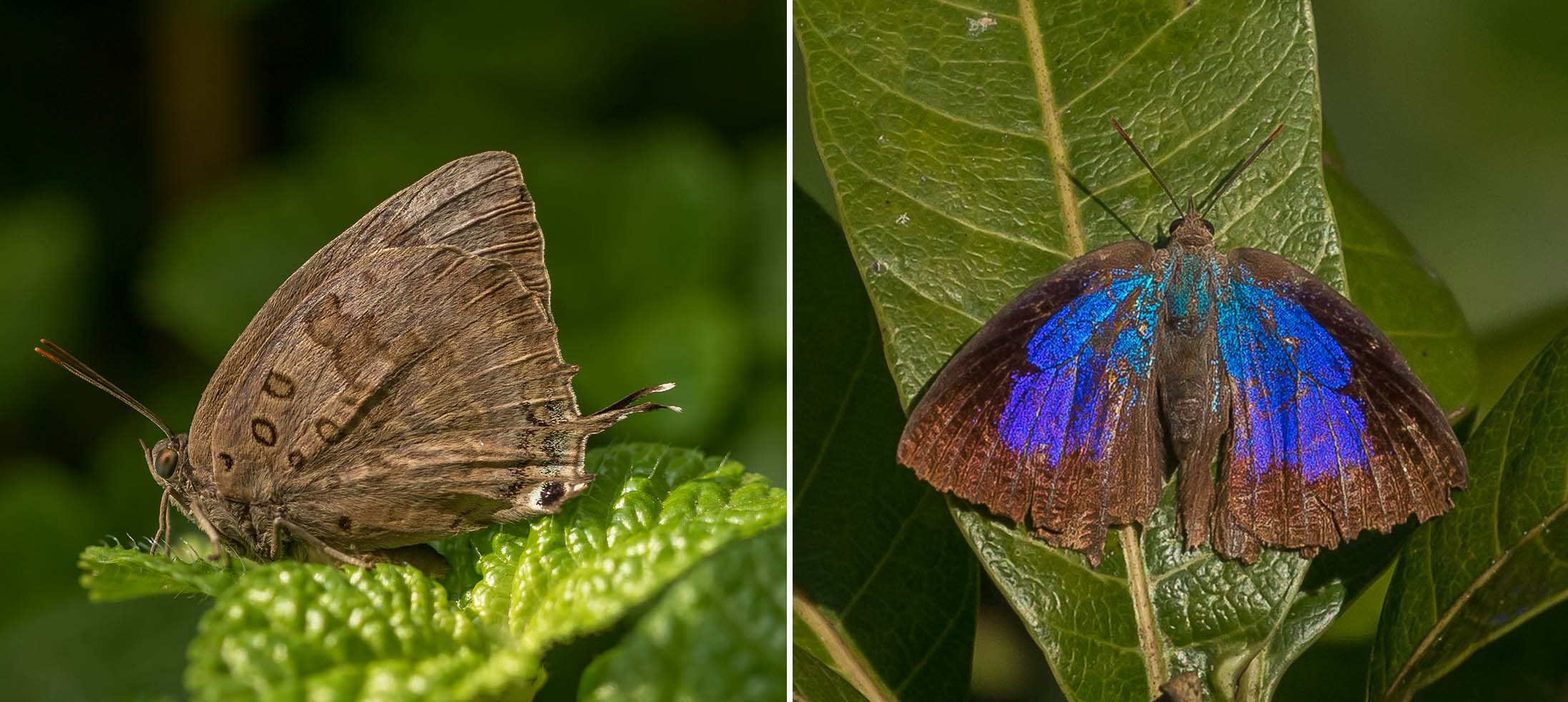 oakblue buttefly kanha india