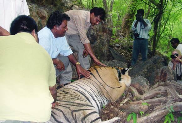 Ranthambhore Sariska Tiger