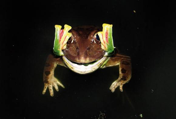 Indian Bullfrog Hoplobatrachus Tigerinus