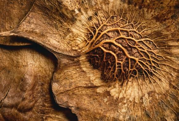 Andaman Redwood seed