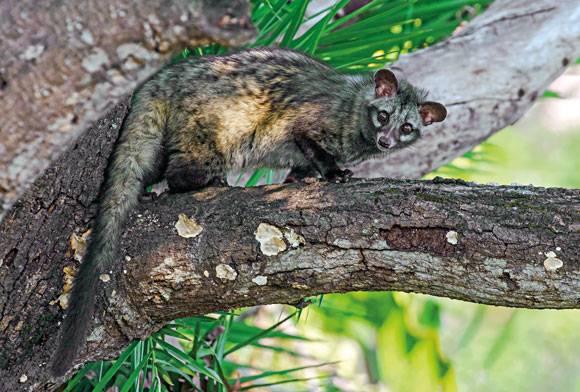 Asian palm civet Paradoxurus hermaphroditus