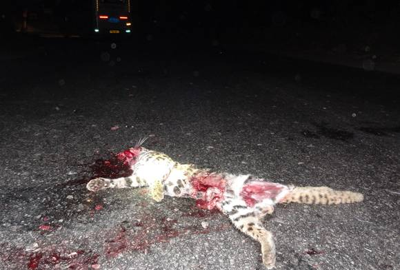 Roadkill - leopard cat