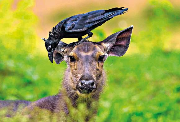 Sambar deer and crow